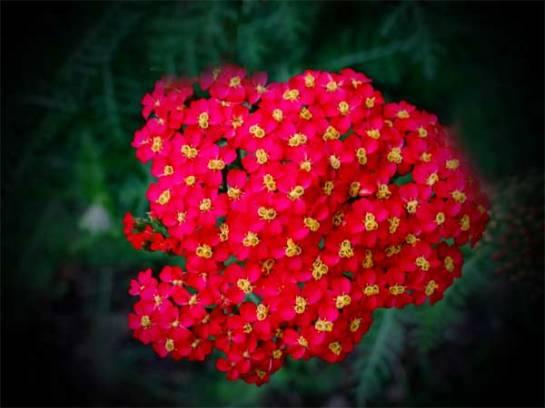czerwony krwawnik (fot. Nacho)